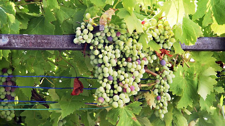 Nahaufnahme von vielen Weintrauben, die an einer Rebe hängen.