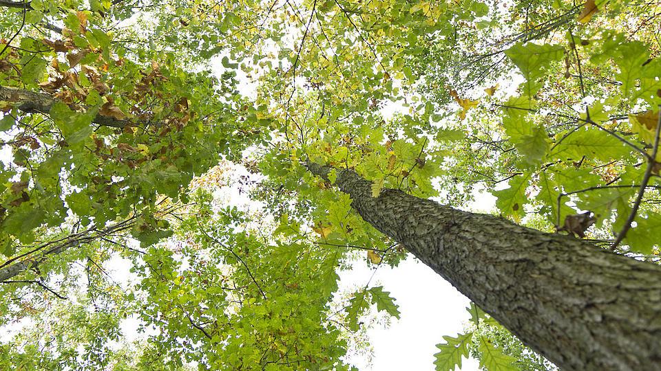 Blick von unten hinauf zu den Baumkronen eines Laubwaldes.