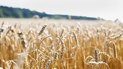 Blick in ein goldenes Weizenfeld. Vorne sind die einzelnen Ähren erkennbar, weiter hinten erkennt man unscharf den Waldrand.