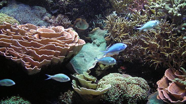 In einem Korallenriff schwimmen fünf kleine Fische.