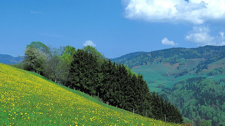 Eine gelbblühende Bergwiese im Sommer, von der ein Teil mit einem Zaun abgeteilt ist.