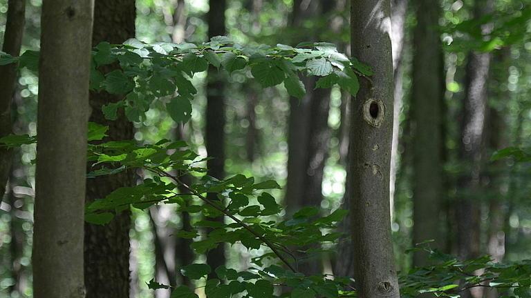 Neben einer Vielzahl von schmalen Baumstämmen, zum Teil mit Astlöchern, wachsen dünne Äste mit kräftigem Blattwuchs.