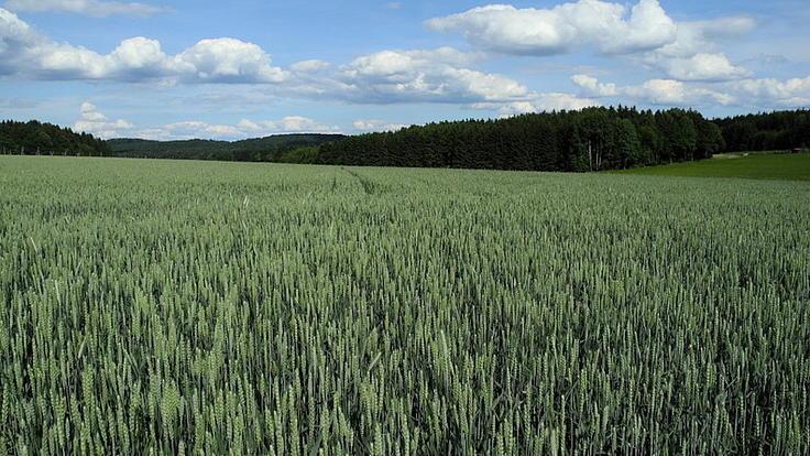Blick über ein großes Getreidefeld mit grünen Ähren.